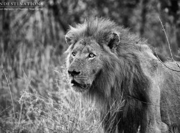 As we know, male lions spend their lives fighting for territory and dominance of prides, but we can't help but feel some sense of disbelief when we see it happen in front of our eyes. What's happened in our neck of the woods in the Klaserie over the weekend has left us confident that we […]