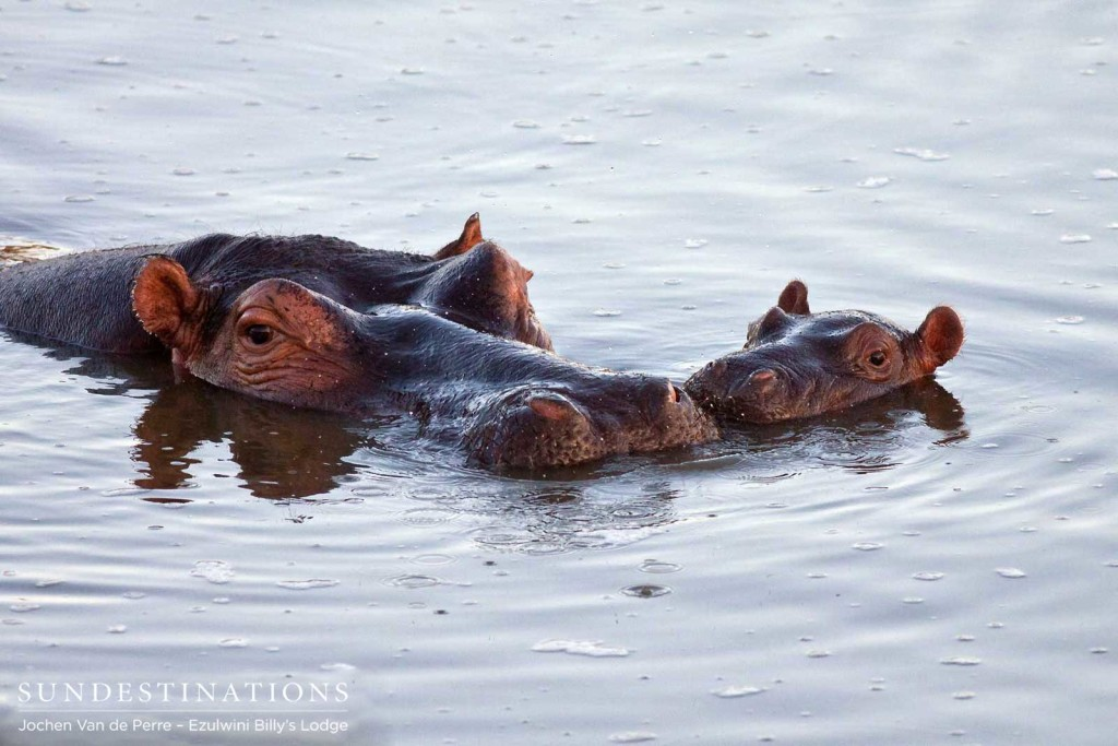 A tender moment between a mother hippo and her calf in the Olifants River. This youngster will follow in its mother's footsteps and become one of the most formidable mammals in Africa.