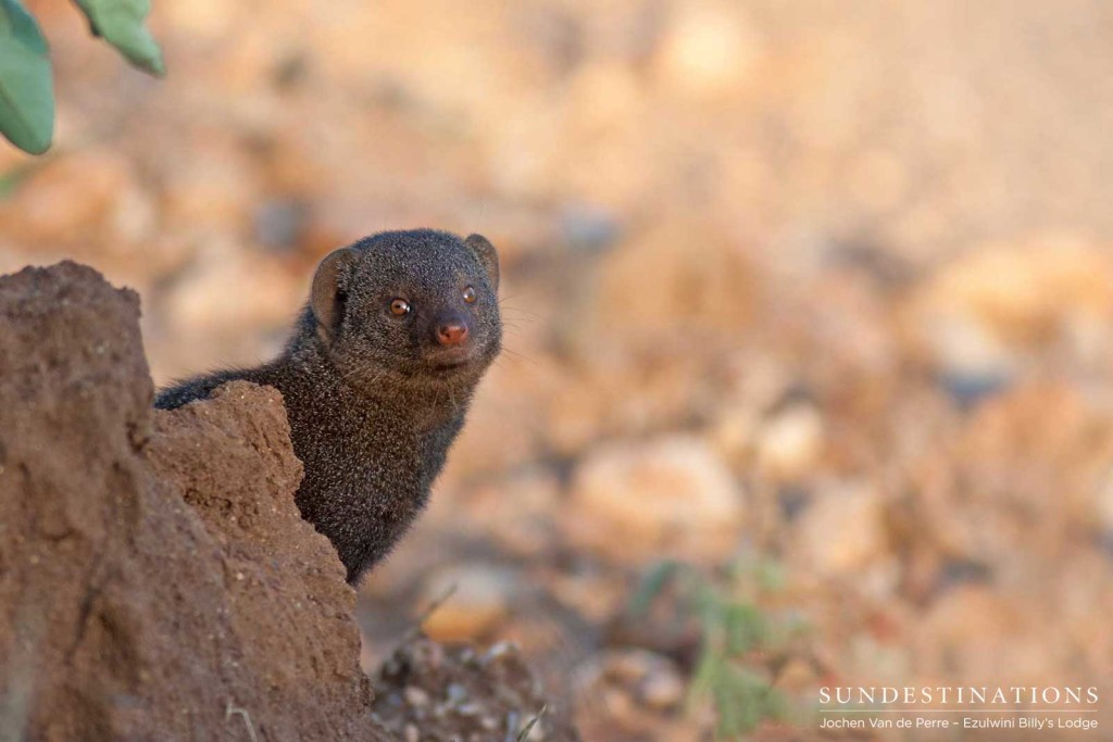 A dwarf mongoose freezes in its tracks to check for potential danger before darting across an opening in the veld and diving for cover on the other side.