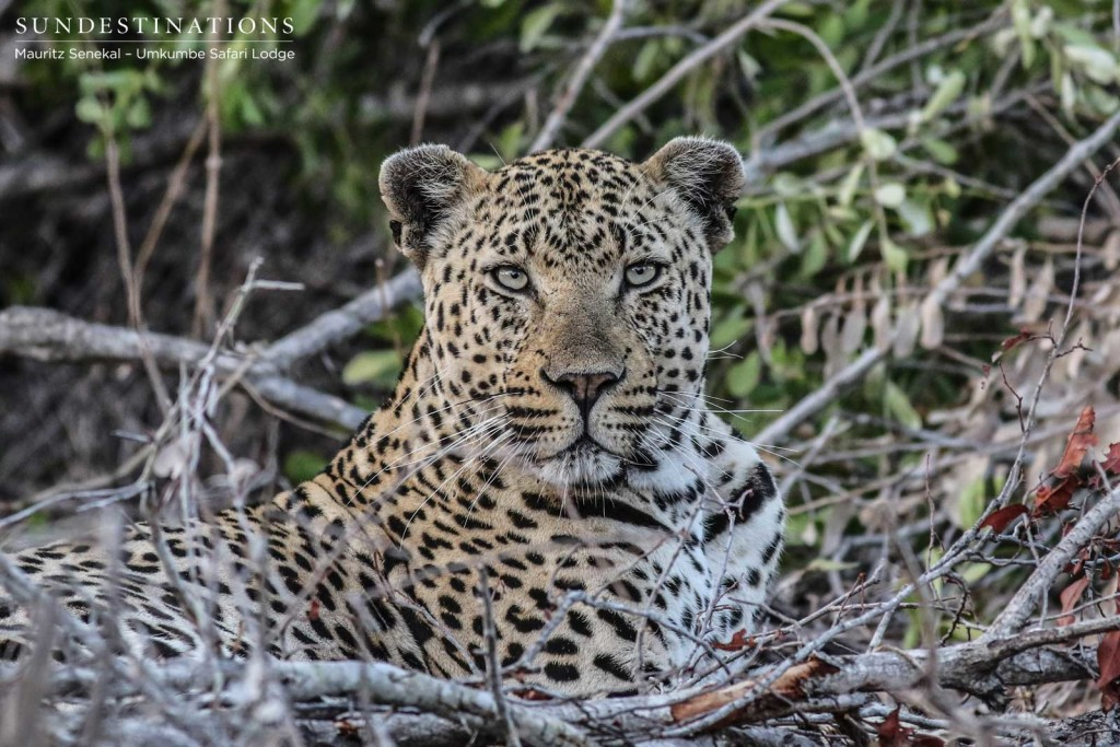 The magnificent Mambiri male leopard looking content in his new neighbourhood