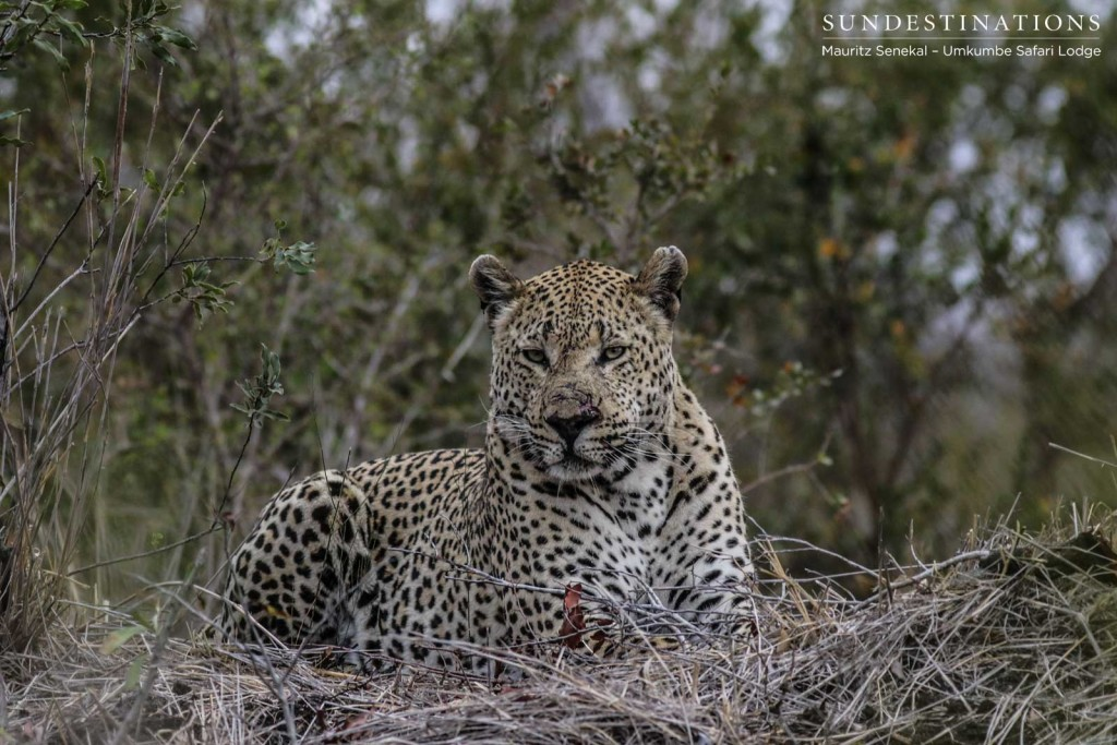 Mxabene after a fight with Kaxane male leopard