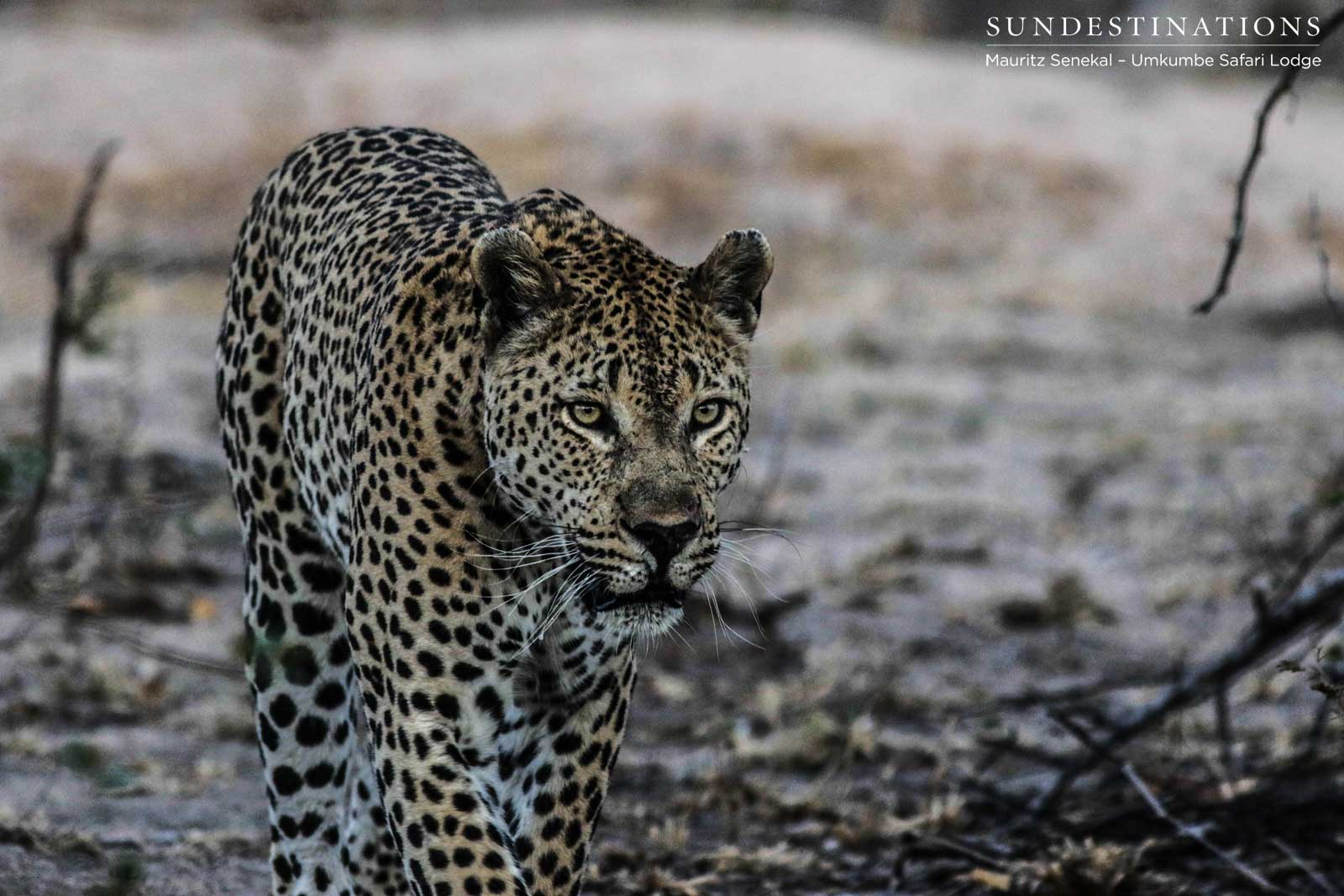 Mxabene's Battle with Kaxane Male Leopard