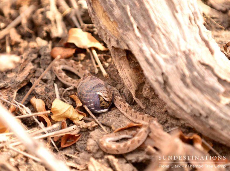 Snake Eating Bird's Egg Seen on Safari with nThambo