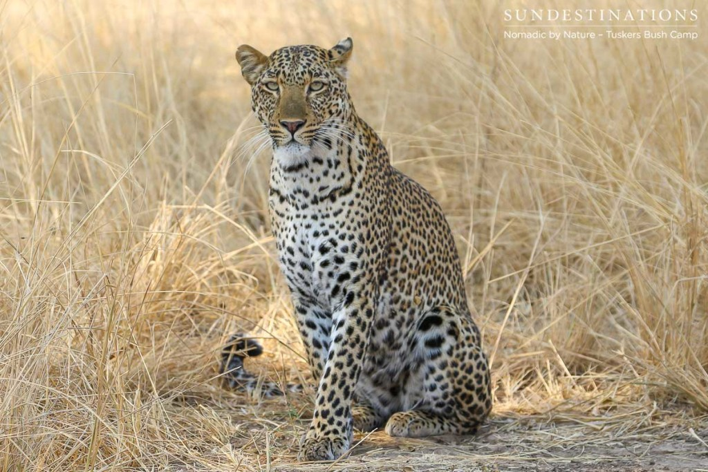 Leopard at Tuskers Bush Camp