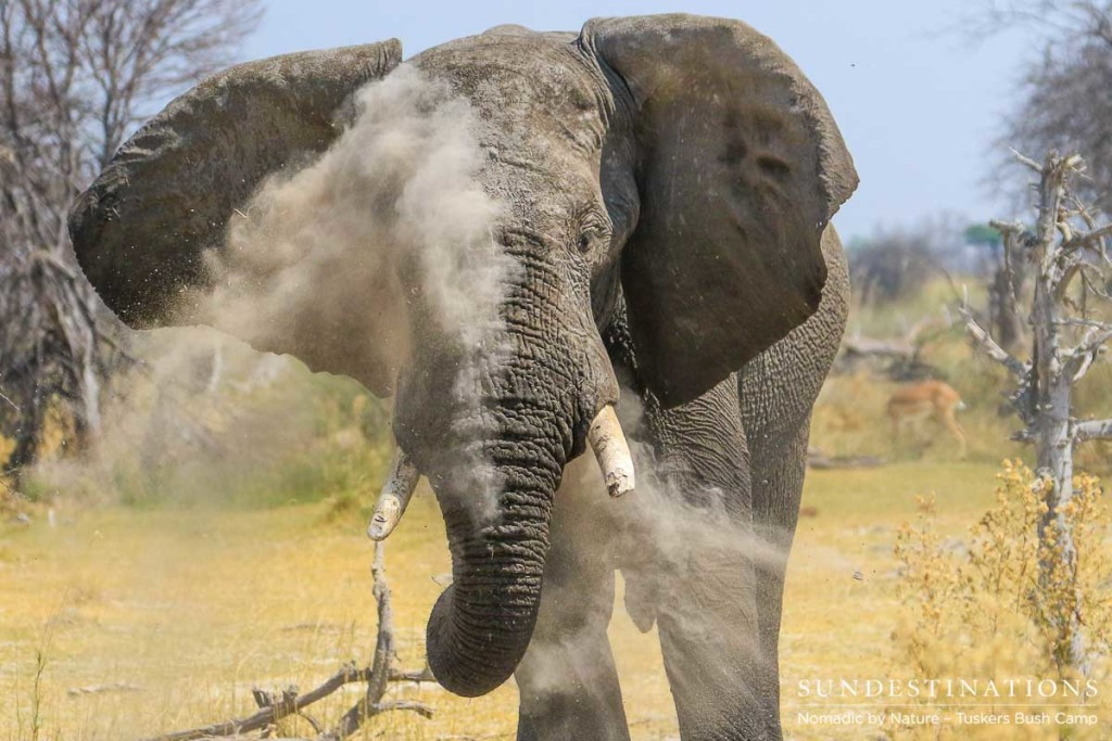 Fine sand and dust fill the crevices in the skin of an elephant, protecting it from the sun, as well as unwanted parasites. A magnificent display to watch, the elephant dust bath.