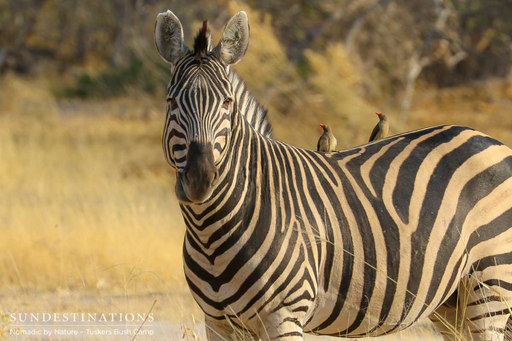 A zebra gazes across the Moremi plains and pauses mid-mouthful to share this moment with its admirers