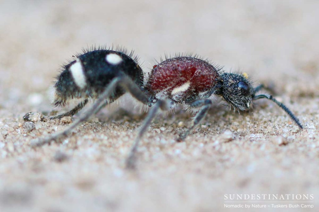 A velvet ant, which is in fact a female wasp, packs quite a sting, and should be admired from afar rather than handled.