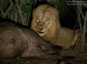 After catching up with the Breakaway lionesses and one Mapoza male yesterday morning looking decidedly lazy and content with sleeping all day, we were hoping the cooler evening hours would coax them into action. Well, action was what we got! Afternoon game drive took a dramatic turn at Africa on Foot and nThambo Tree Camp […]