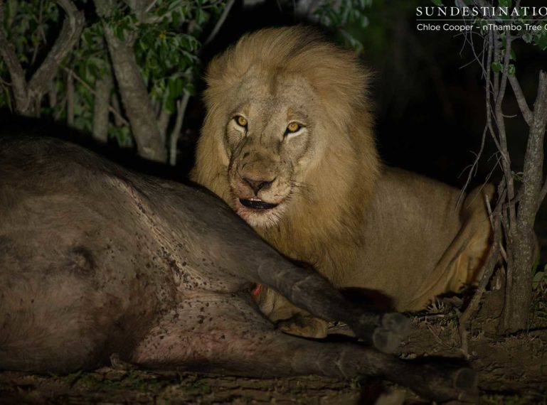 VIDEO: Front Row Seats at a Lion Kill in Klaserie