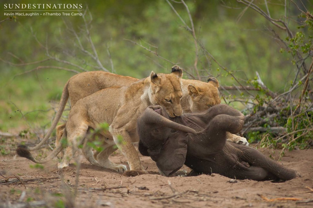 The lionesses work as a team to try and drag the carcass to a safe place for them to eat