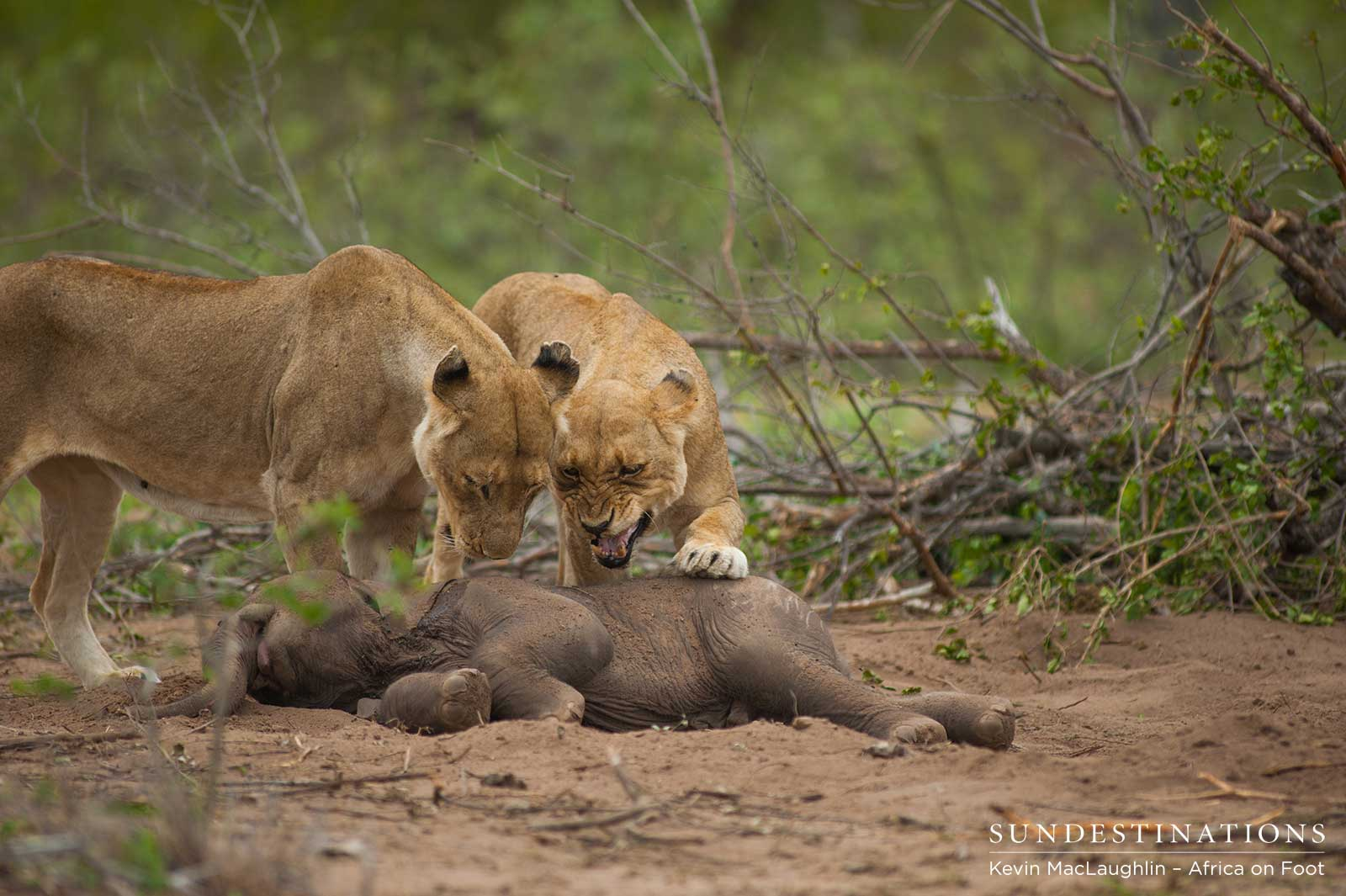 Lionesses Prey on Stillborn Elephant Calf