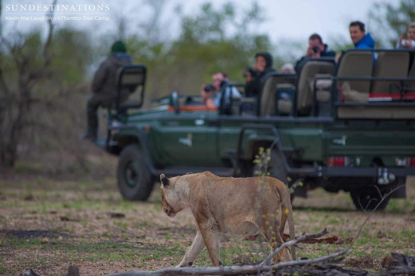 nThambo's Predator Safari with Lions and Wild Dogs!