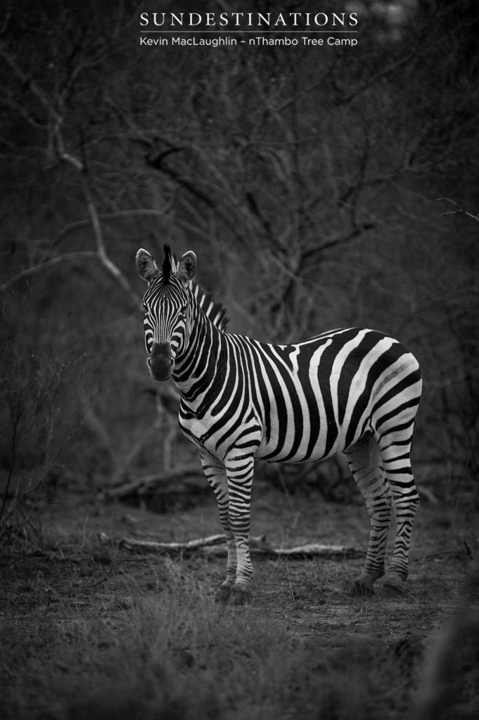 The zebra: always a vision in black and white