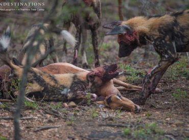 It's been a week of merciful drizzle so far in the Klaserie, and this morning as Africa on Foot set out on an award-winning walking safari, nThambo Tree Camp guests headed off in their new Cruiser to see what was on offer for their early game drive. Turns out: a lot! The predators were out […]