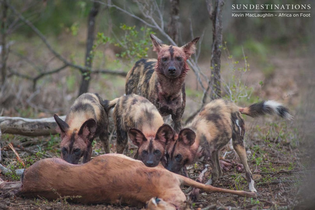 Pups feed first as an adult female of the wild dog pack keeps watch