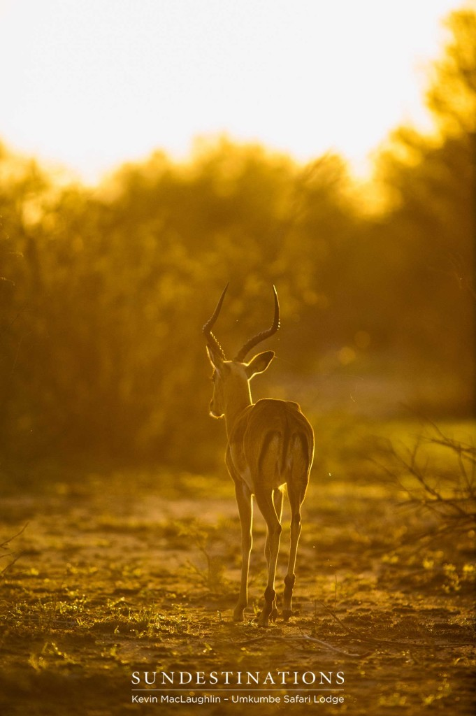 An impala ram strolls into the sunset, bathed in golden light