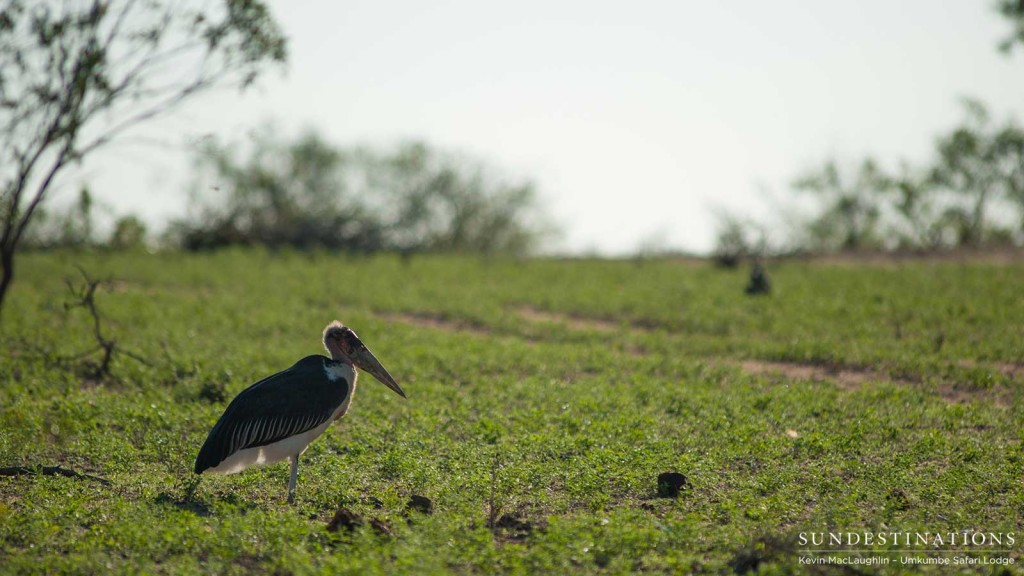 A marabou stork on a rolling lawn of new summer green