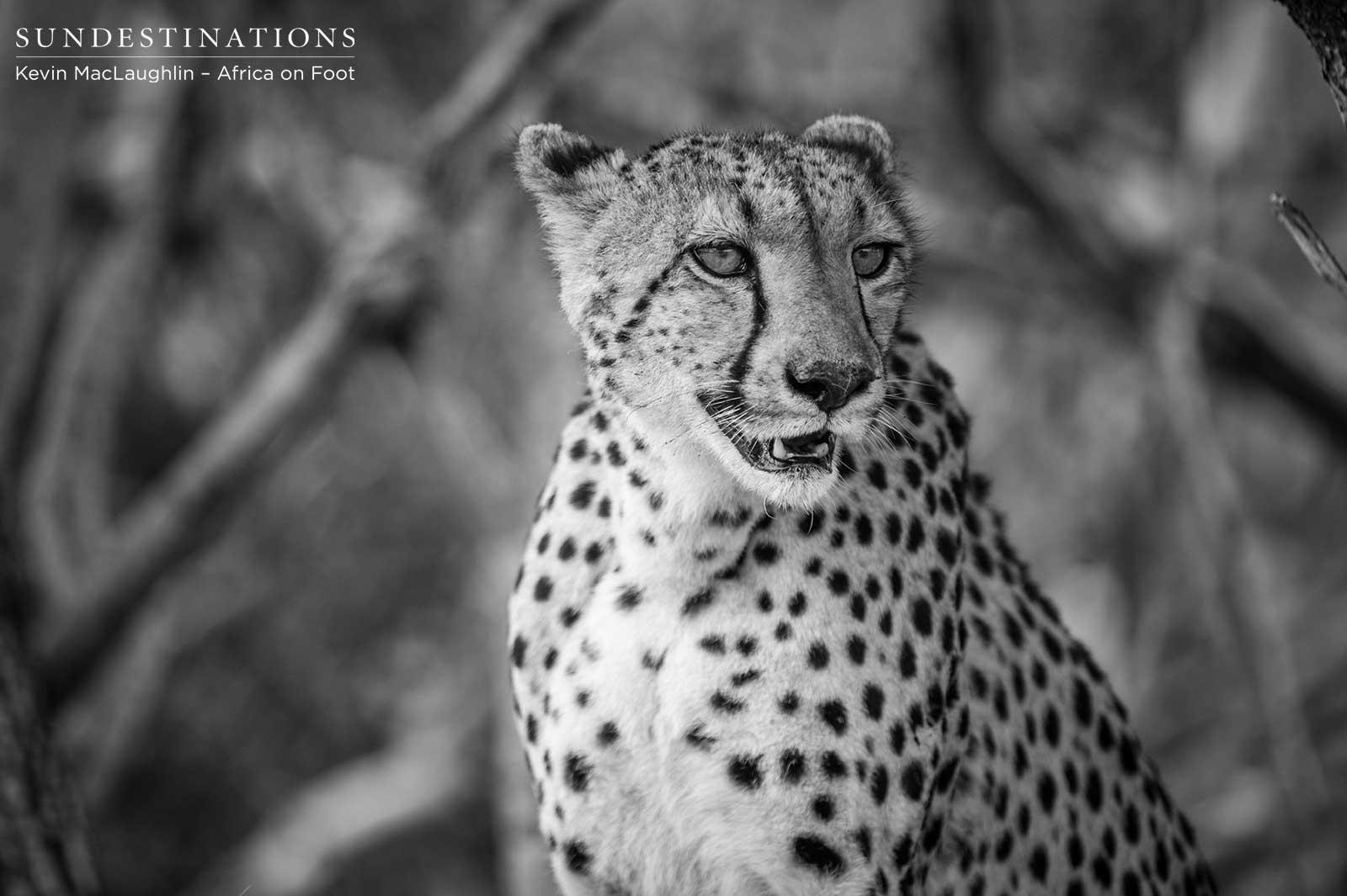 Cheetah in Klaserie
