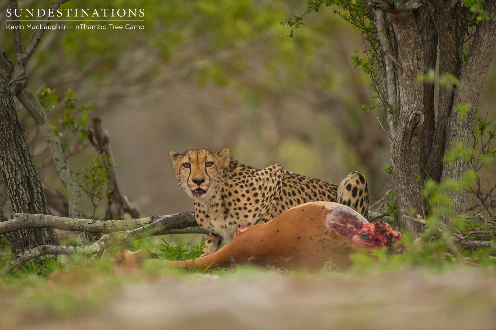 Female Cheetah on Kill