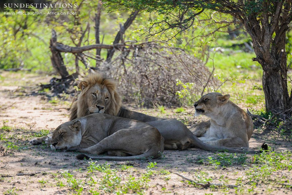 Breakaway lionesses and Mapoza male relaxing in the morning before they made the buffalo kill