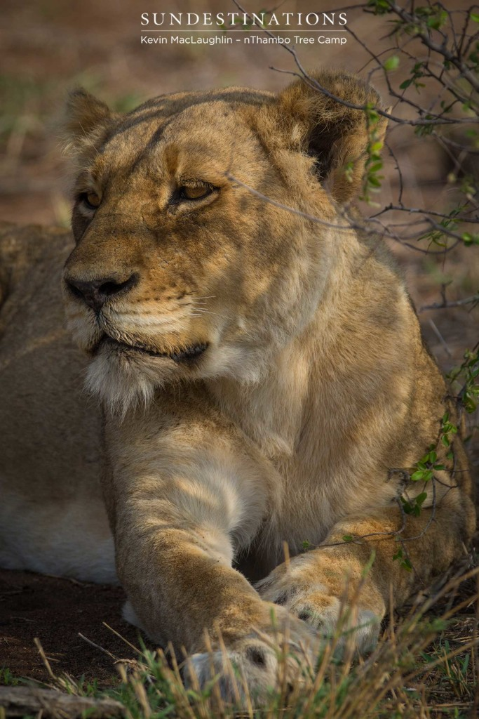 Ross Breakaway lioness resting in the heat of the afternoon
