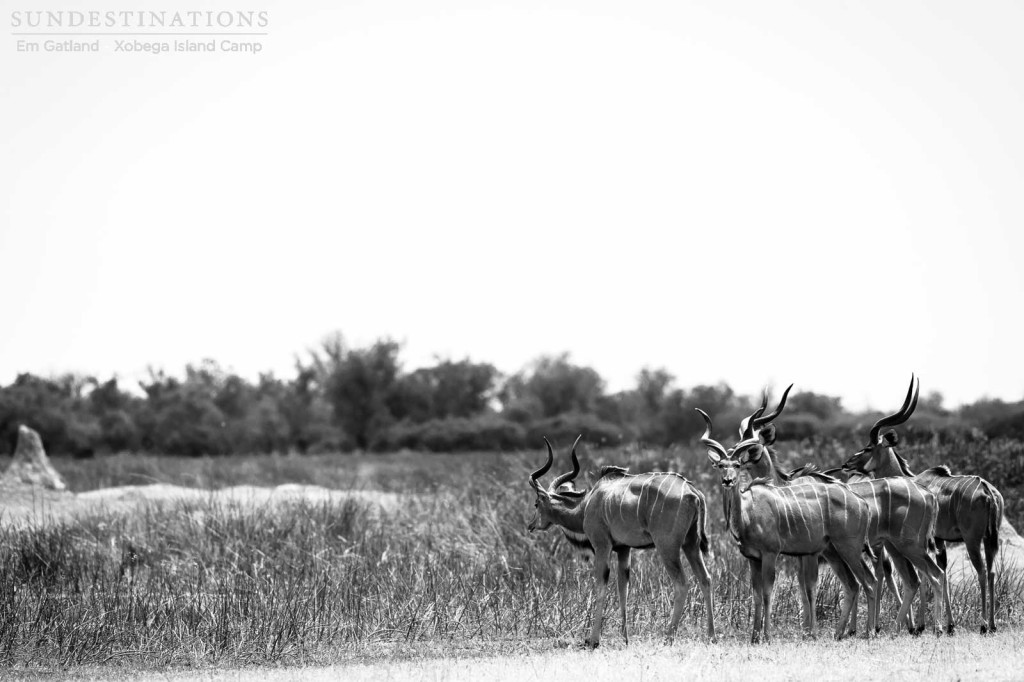 Kudu bulls staying close as they move through the open in Moremi Game Reserve