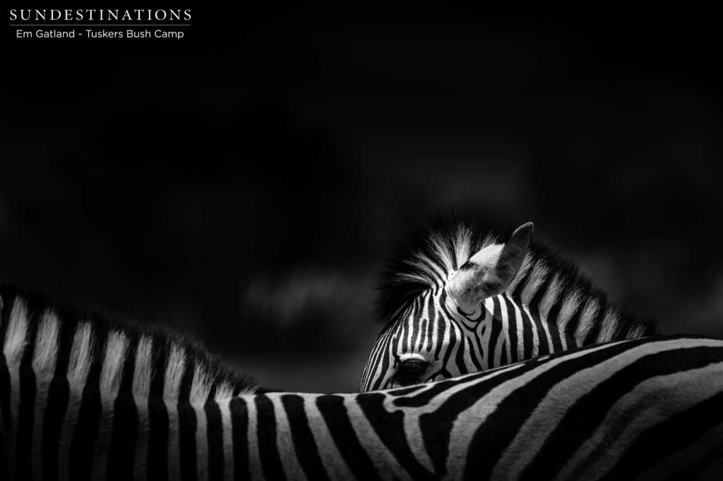 Optical illusions in the mass migration of zebras through Botswana
