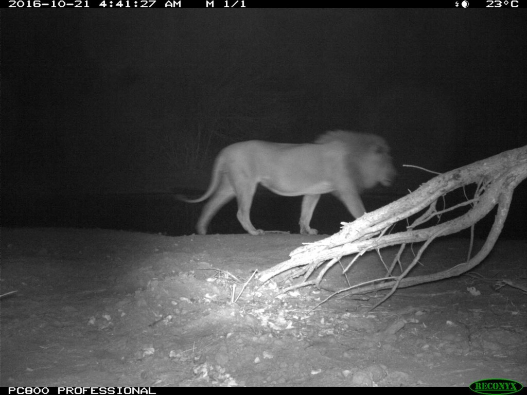 Lions spotted in the early morning at Tuskers Bush Camp