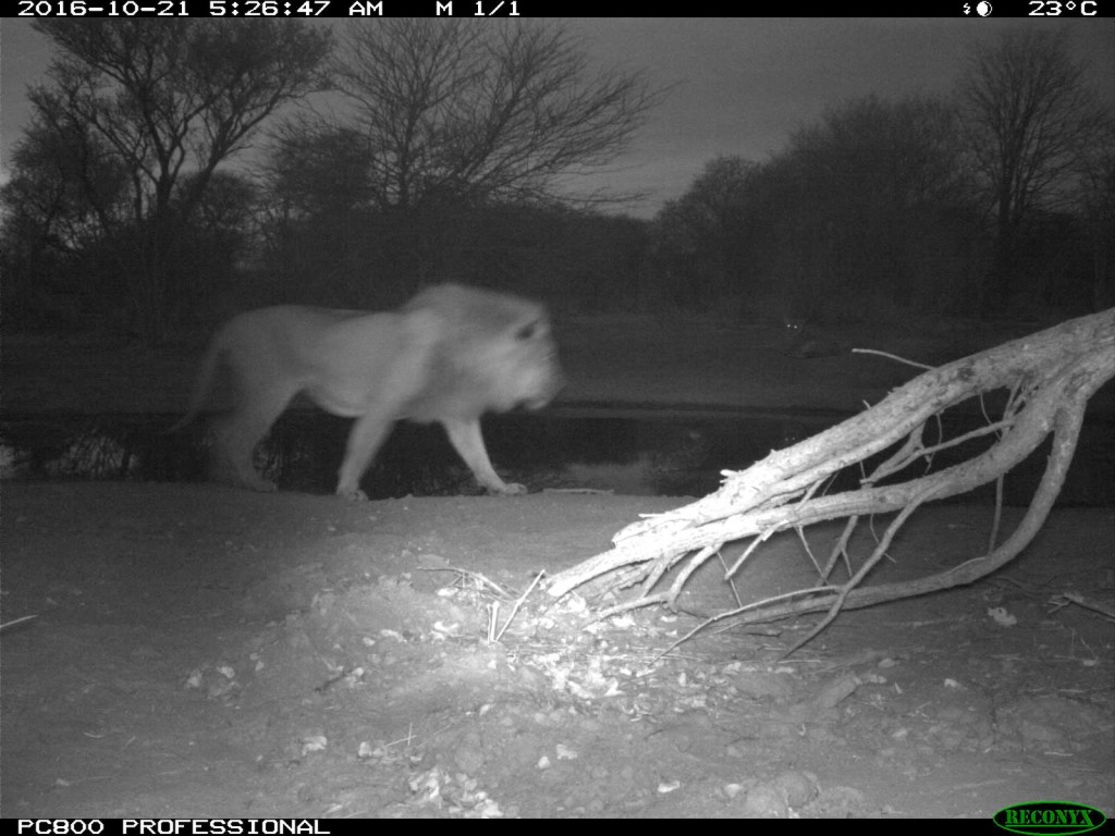 Lions spotted in the early morning at Tuskers Bush Camp on camera trap