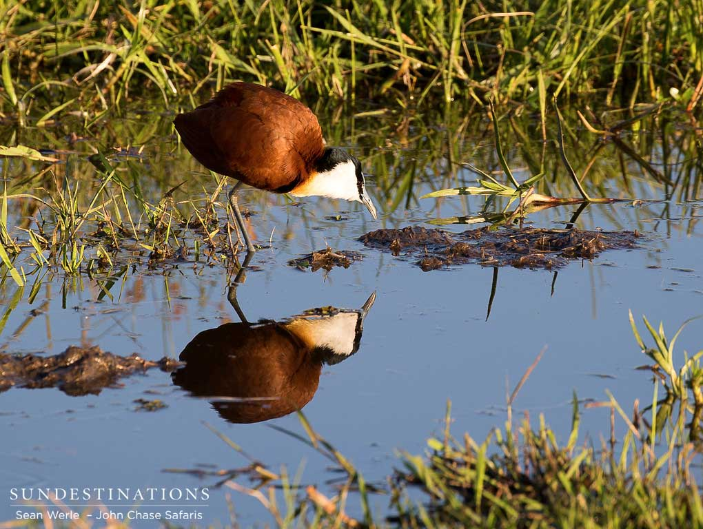 An African jacana bows to greet its reflection
