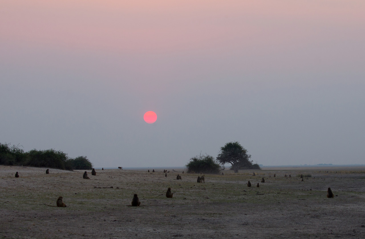 Baboons watching the sunset