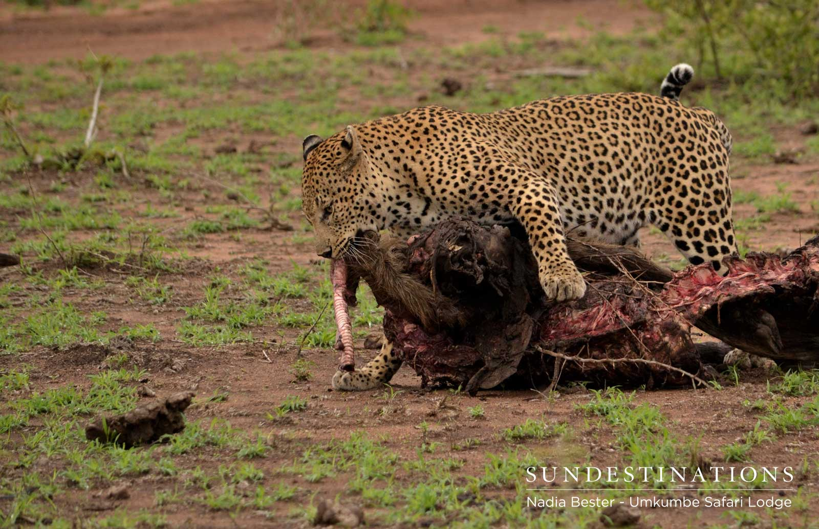 Umkumbe Leopard Action: Mad Max Makes a Kill