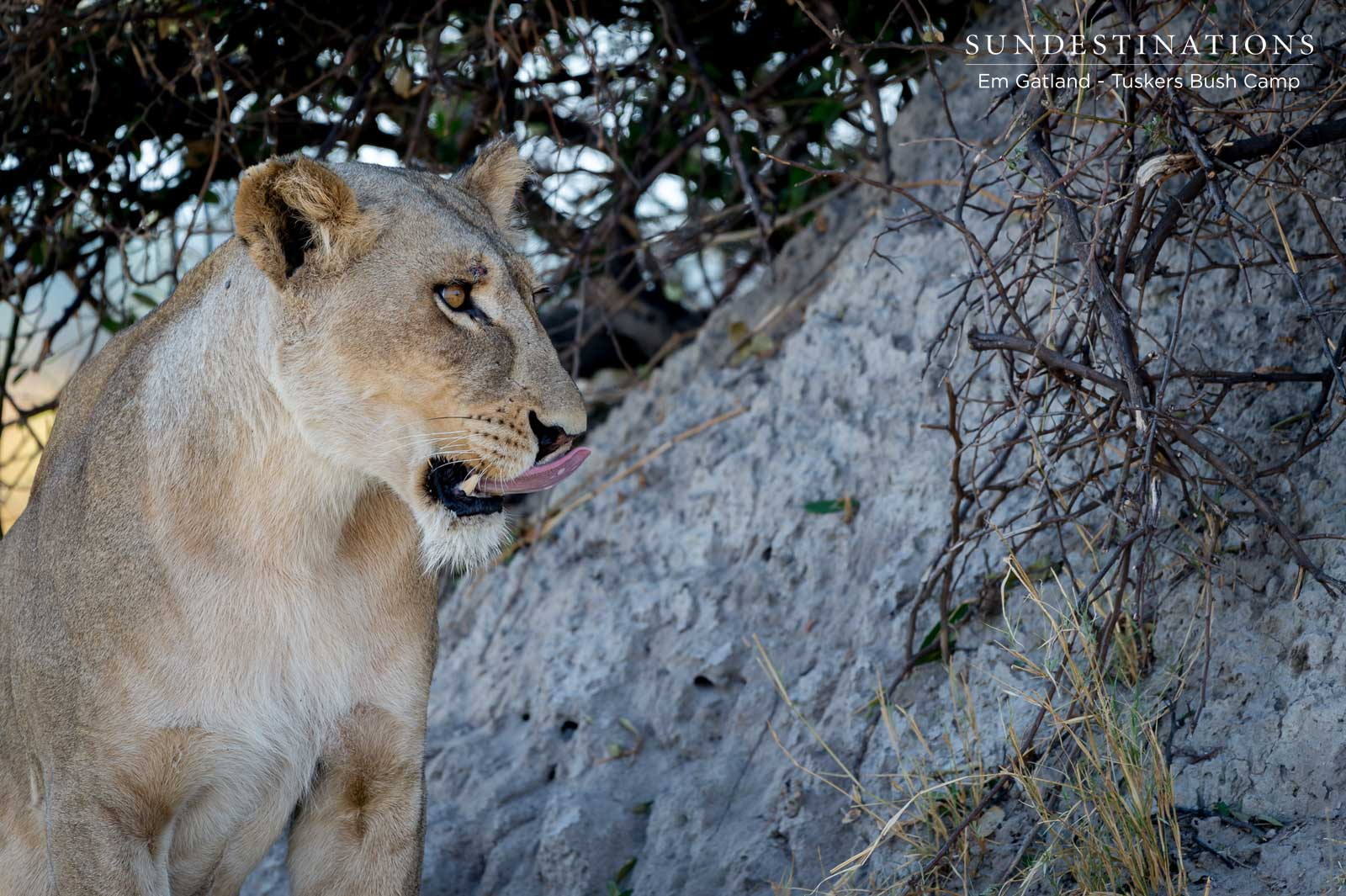 Photographing Lion Cubs in Moremi Game Reserve