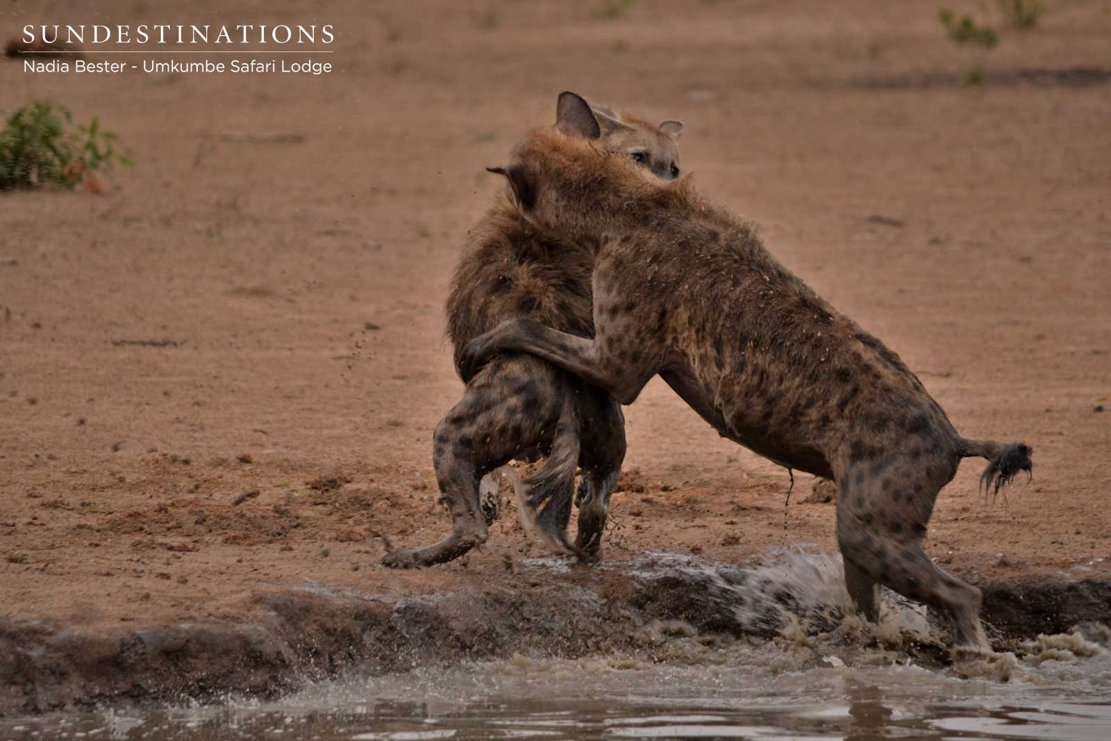 Hyena at Play in the Waterhole