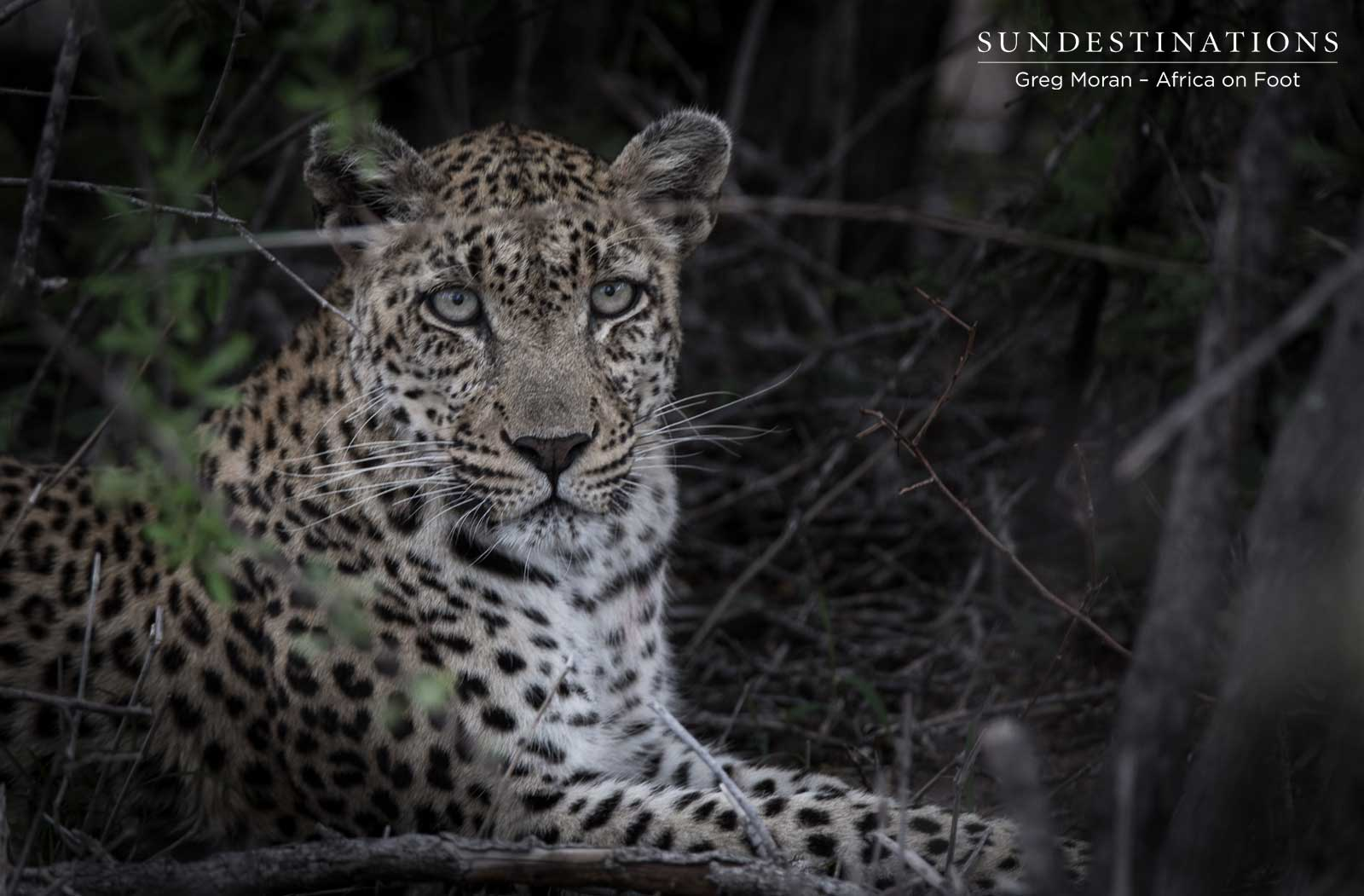 White Rock Leopardess
