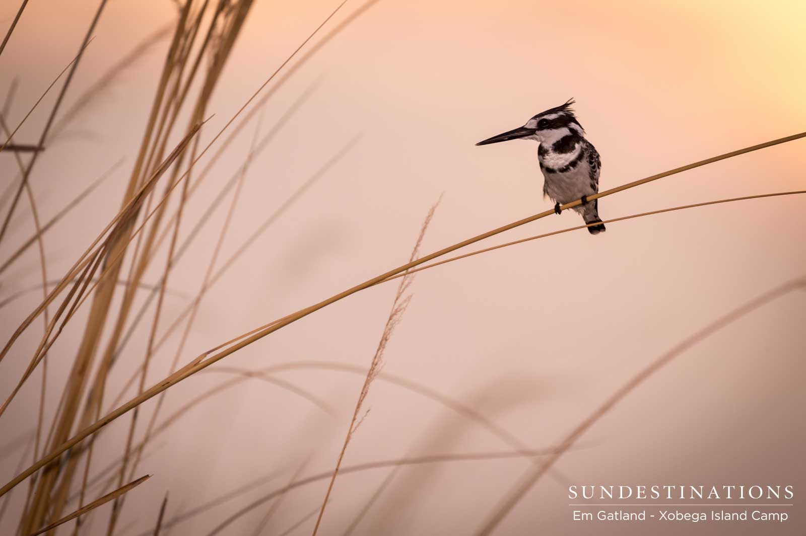 Pied Kingfisher in Sunset