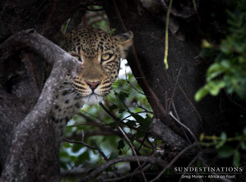 Ross Dam female leopard