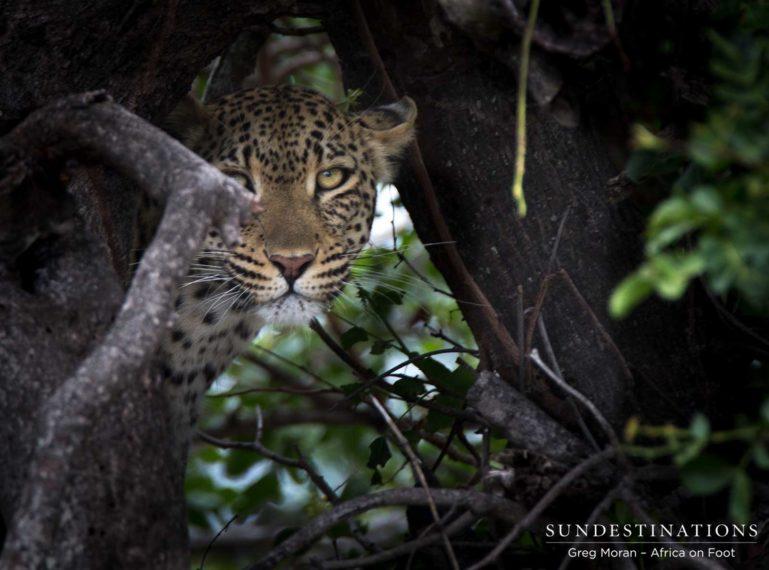 Tree-climbing Leopardess, Ross Dam