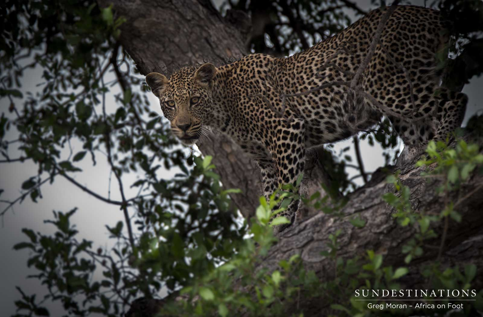 Tree-climbing Leopardess, Ross Dam