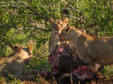 The indomitable Hercules Pride was spotted looking as fierce as ever as they chowed down on a buffalo carcass recently. This elusive pride is always a treat to see, and due to their scarcity, we only catch up with them every so often when they venture out of their mostly untraversed territory. The 4 subadults […]