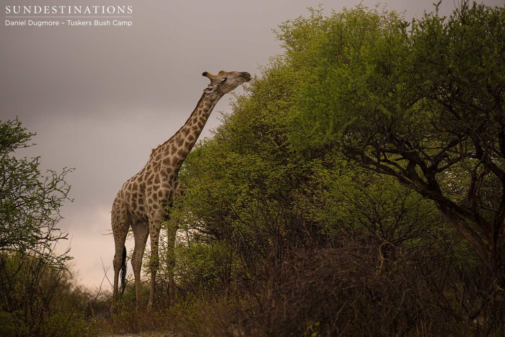 A giraffe bull determinedly reaches for the uppermost succulent leaves, as a storm cloud lurks in the background