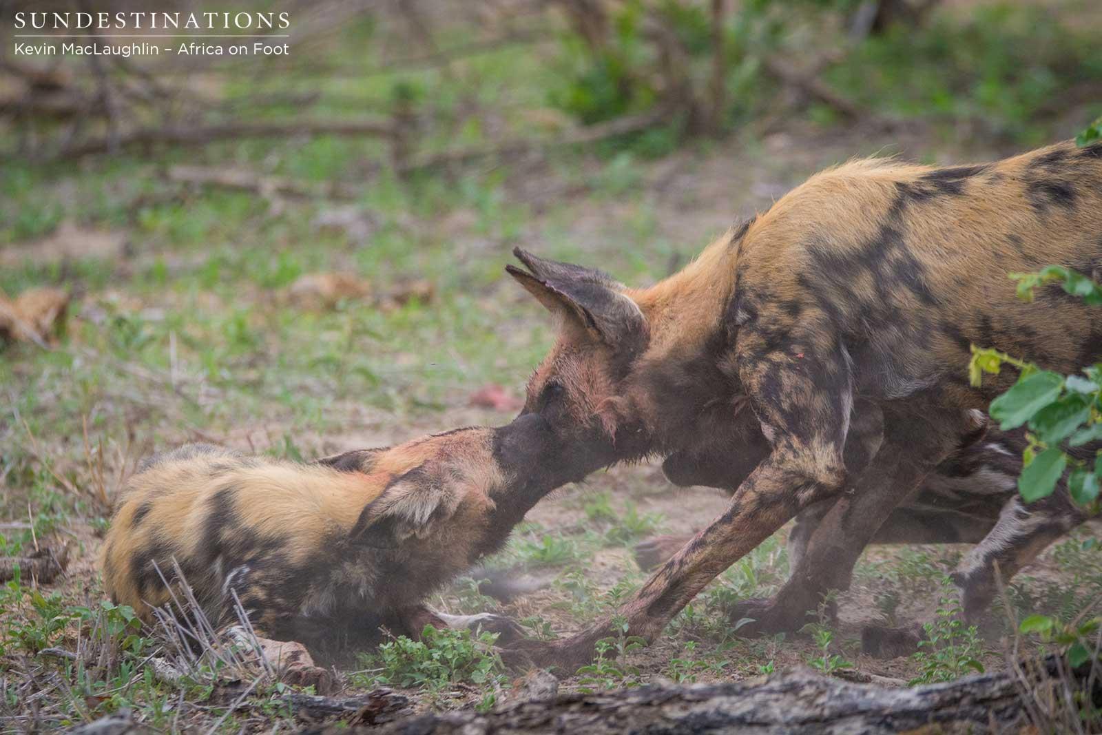 Wild Dogs & Pups Make a Kill at nThambo!