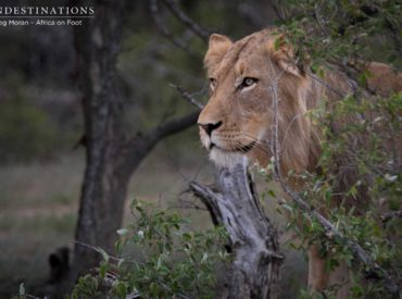 Now this is exciting! If we weren't thrilled enough by the news of newcomer male Duma partnering up with the Mabande male, this has certainly set things into motion: 4 newlions were spotted emerging from the bush while Africa on Foot and nThambo Tree Camp were out on game drive, and the following day the […]