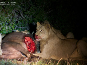 """Less than a week ago our rangers enthralled guests with a rare sighting of the powerful and elusive Hercules pride of lions. The term """"Hercules"""" is derived from Greek mythology. Hercules was the son of Zeus and was believed to have an almost supernatural strength. Thus, it's fair to say that this burgeoning pride is […]"""