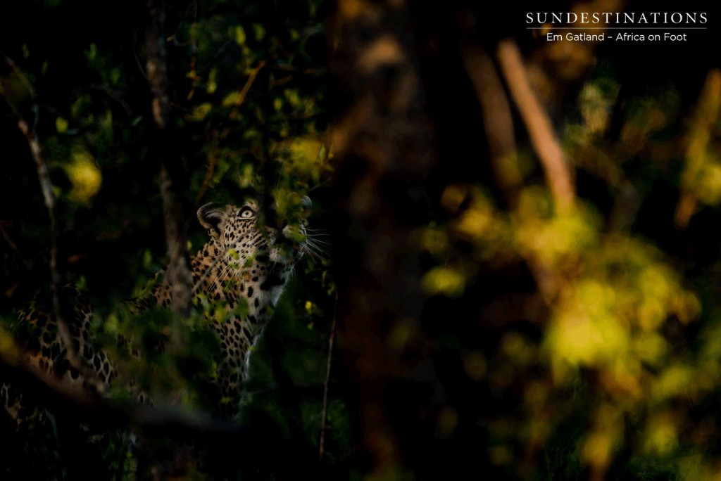 A leopard assesses the tree she is about to climb as we watch her through the golden foliage