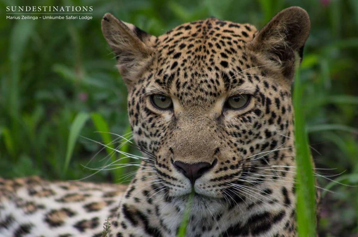 Kigelia the Leopardess