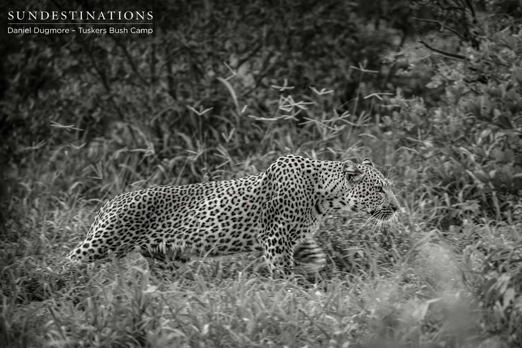 Tuskers Bush Camp : Lone Male Leopard Spotted