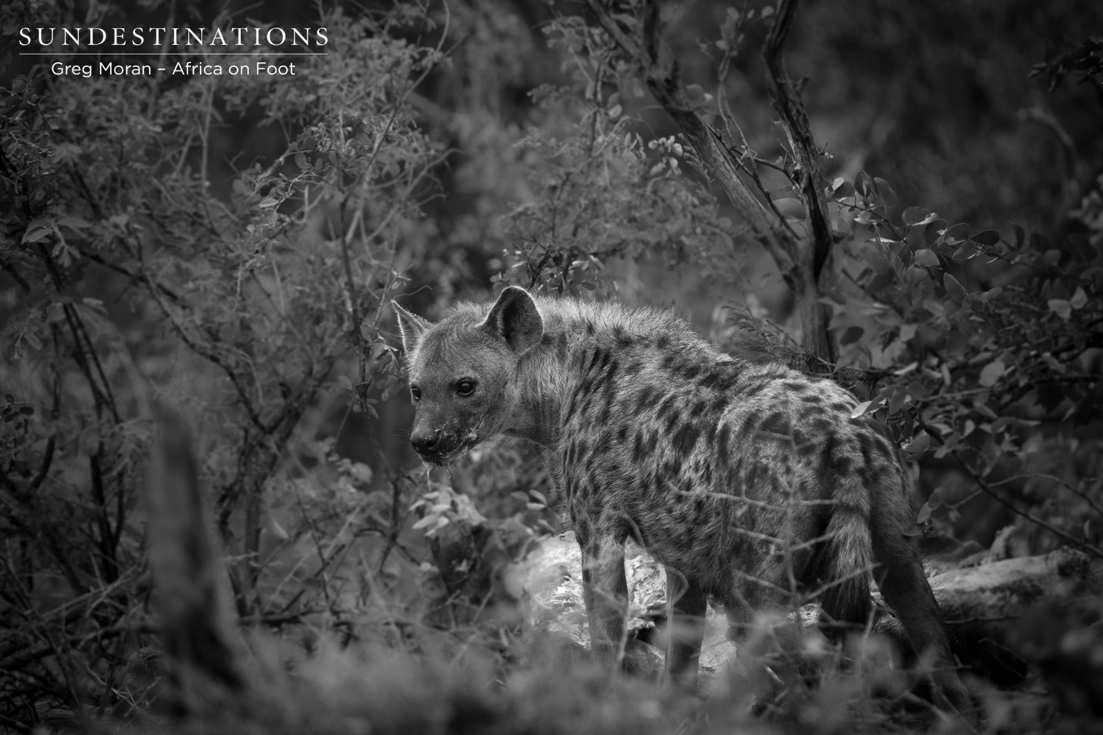 Africa on Foot Hyena