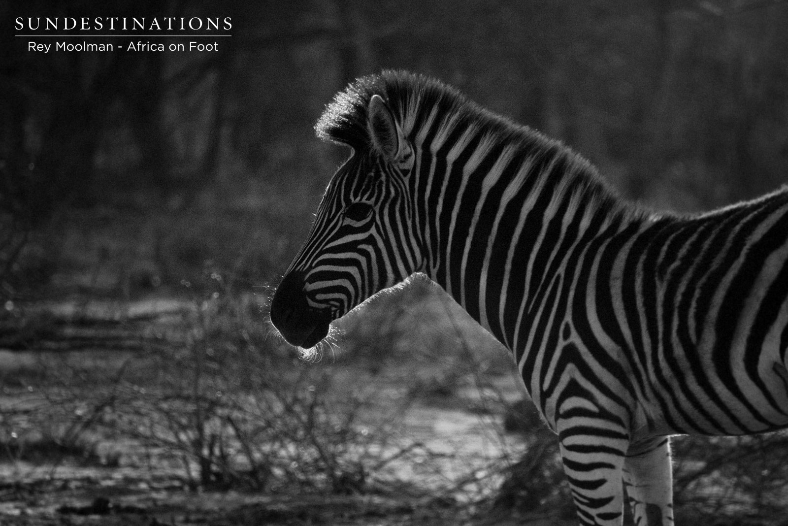 Africa on Foot Zebra