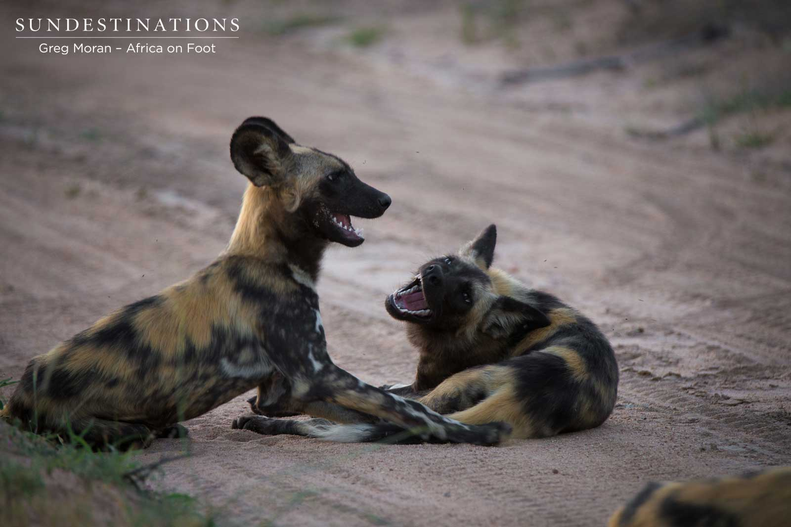 African Wild Dog Africa on Foot